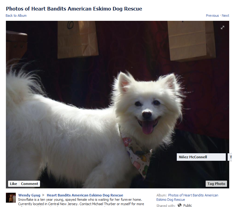 Photos of Heart Bandits American Eskimo Dog Rescue 2013-05-05 01-36-43